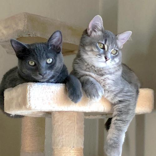 Gilbert, an adoptable Domestic Short Hair & Russian Blue Mix in Springfield, OR