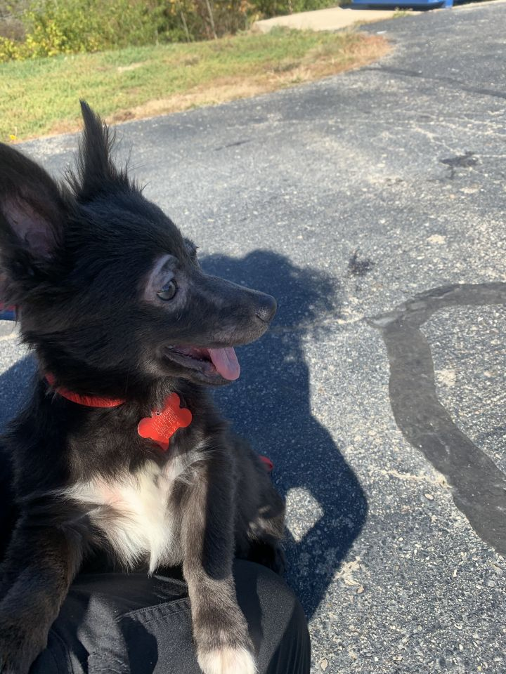 Sausage, an adopted Chihuahua & Pomeranian Mix in Allegan, MI