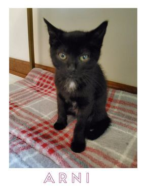 Arni, an adoptable Domestic Short Hair in Maggie Valley, NC