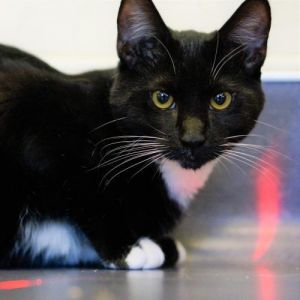 Nice to meet you my name is Denali I am a 6 month old spayed female shorthai