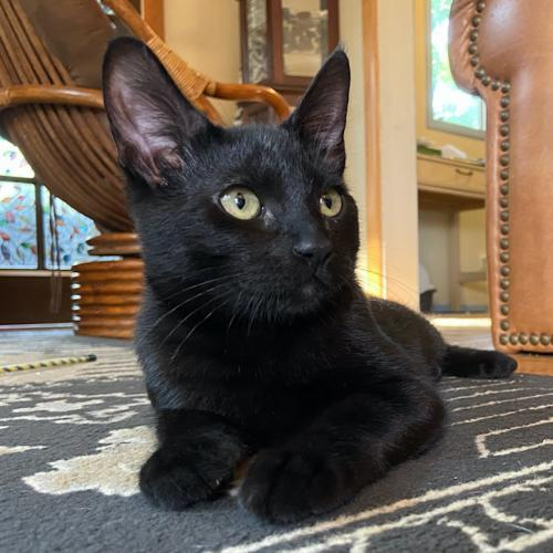 Basil, an adoptable Domestic Short Hair Mix in Springfield, OR