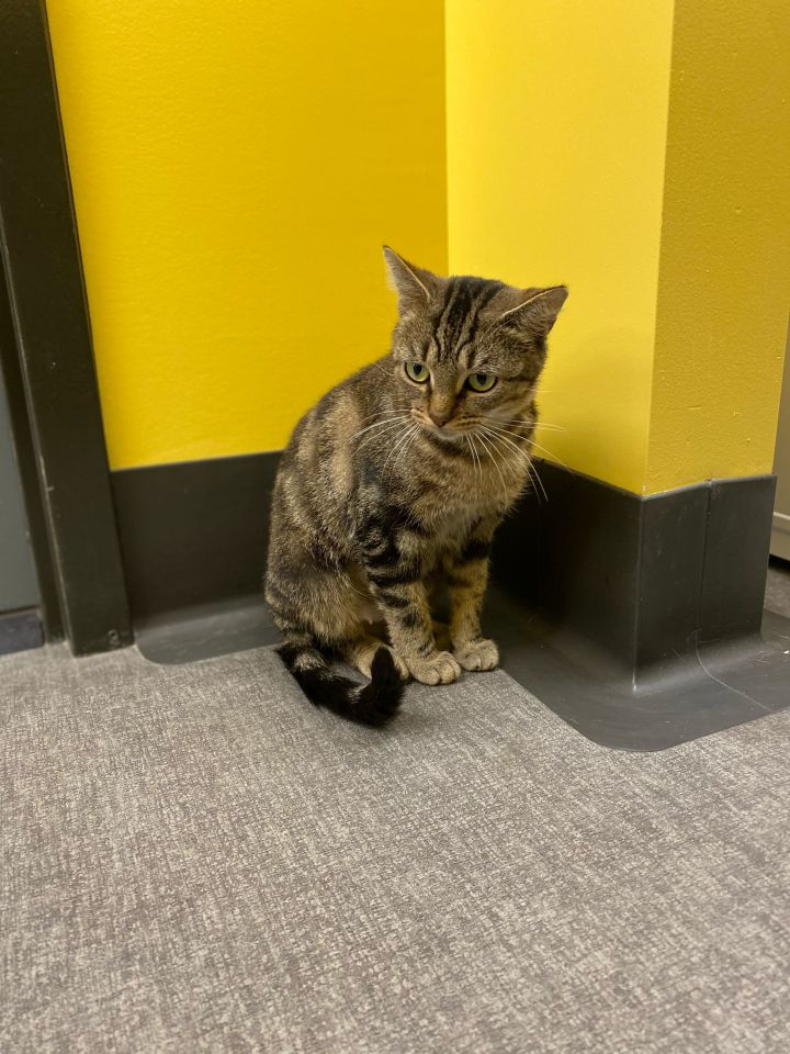 Alivia, an adoptable American Shorthair in Osseo, MI