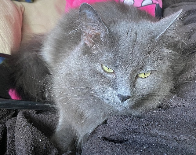 Smore, an adoptable Domestic Long Hair in Waverly, IA