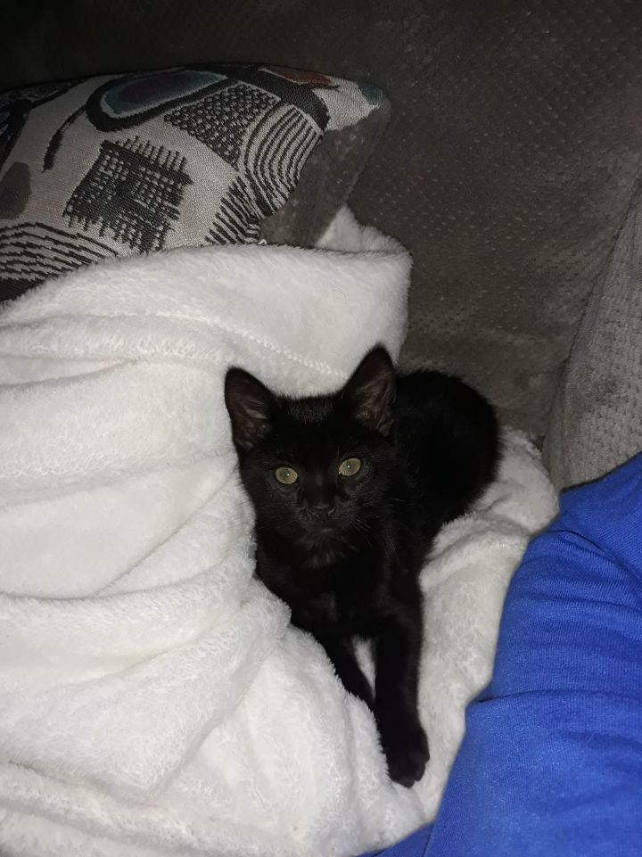 STAR, an adopted Domestic Short Hair in Cape Girardeau, MO
