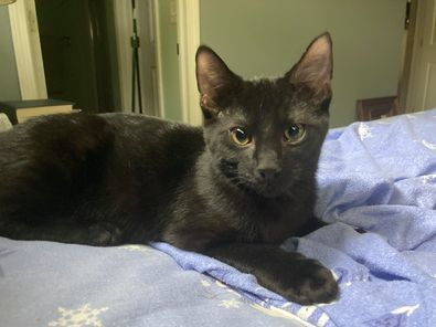Gomez, an adoptable Domestic Short Hair in Kentwood, MI