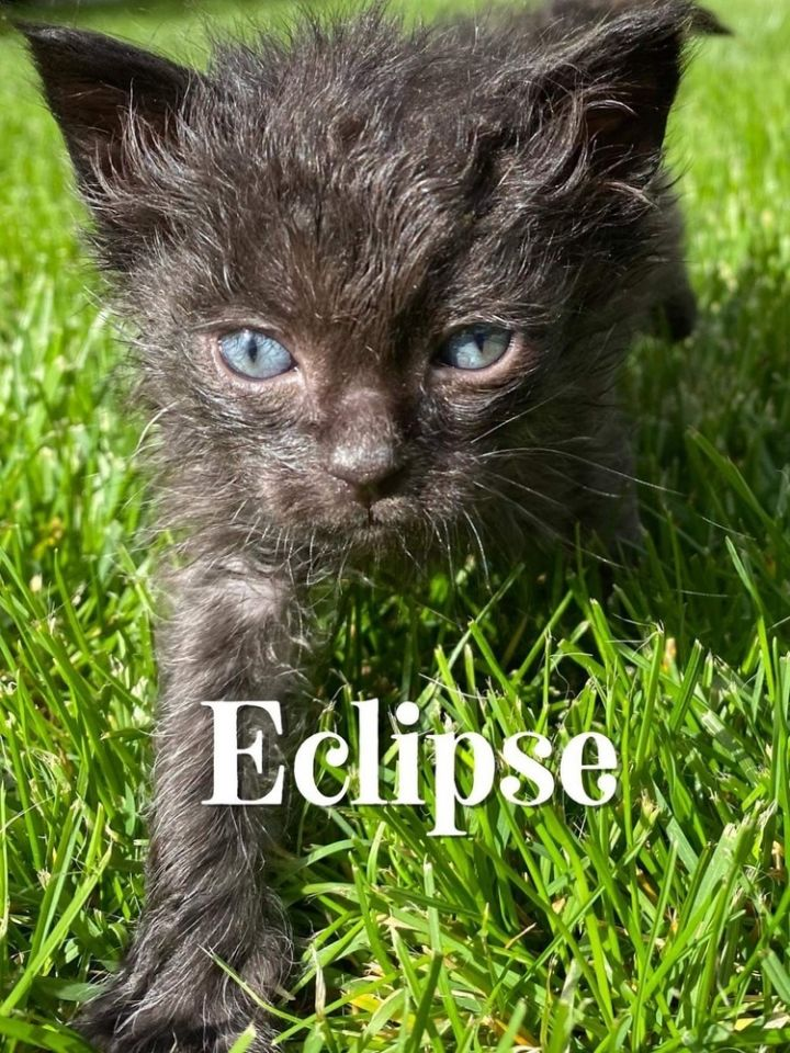 cat for adoption eclipse a domestic short hair mix in spokane wa petfinder petfinder