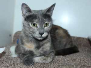 Patricia is a beautiful dilute calico cat She came to our shelter with 8 other