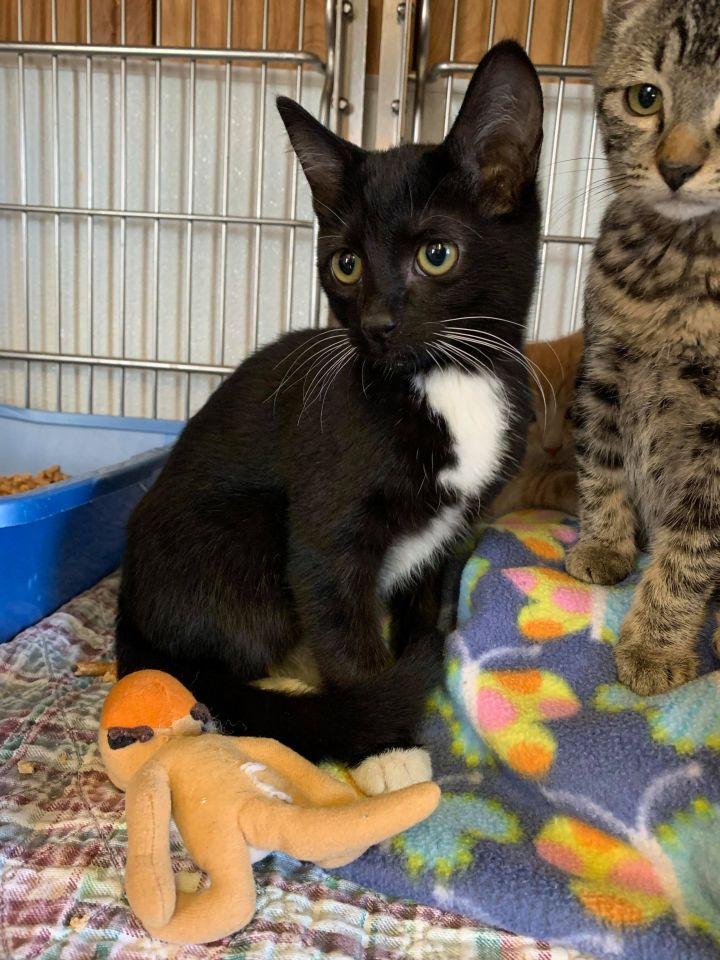 Shock, an adopted Domestic Short Hair in The Dalles, OR