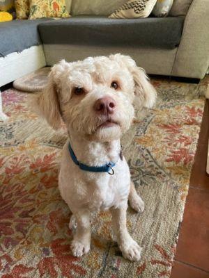 Bruno Poodle Dog