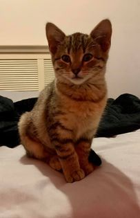 Penelope (kitten), an adoptable Domestic Short Hair & Tabby Mix in Kentwood, MI