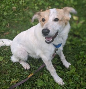 Meet Barron a handsome 1-year-old Australian shepherd mix He weighs 34 lbs and is a very sweet dog