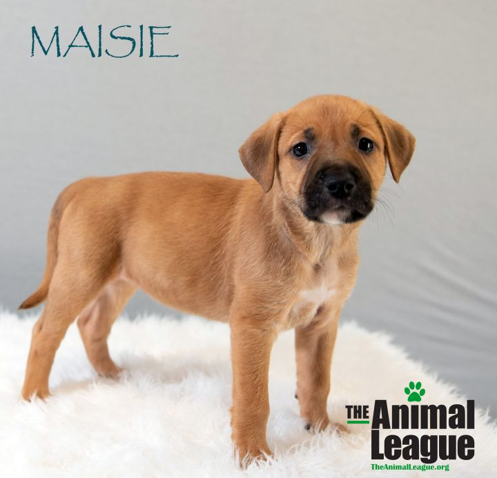 Maisie, an adopted Mastiff Mix in Clermont, FL