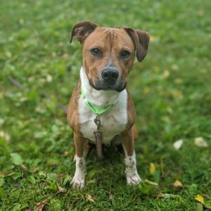 Benny is a very handsome happy 8-month-old mixed breed pup He weighs about 45 lbs and has a little