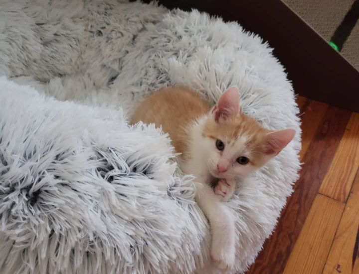 Elijah (Berks County Litter), an adoptable Domestic Short Hair in Warminster, PA