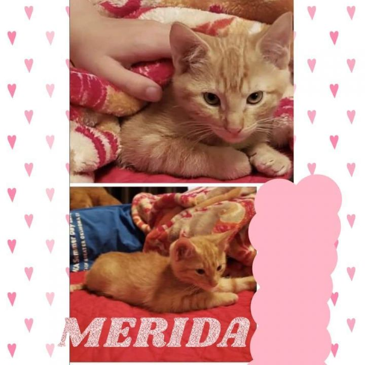 Merida, an adoptable Domestic Short Hair in Oklahoma City, OK_image-2