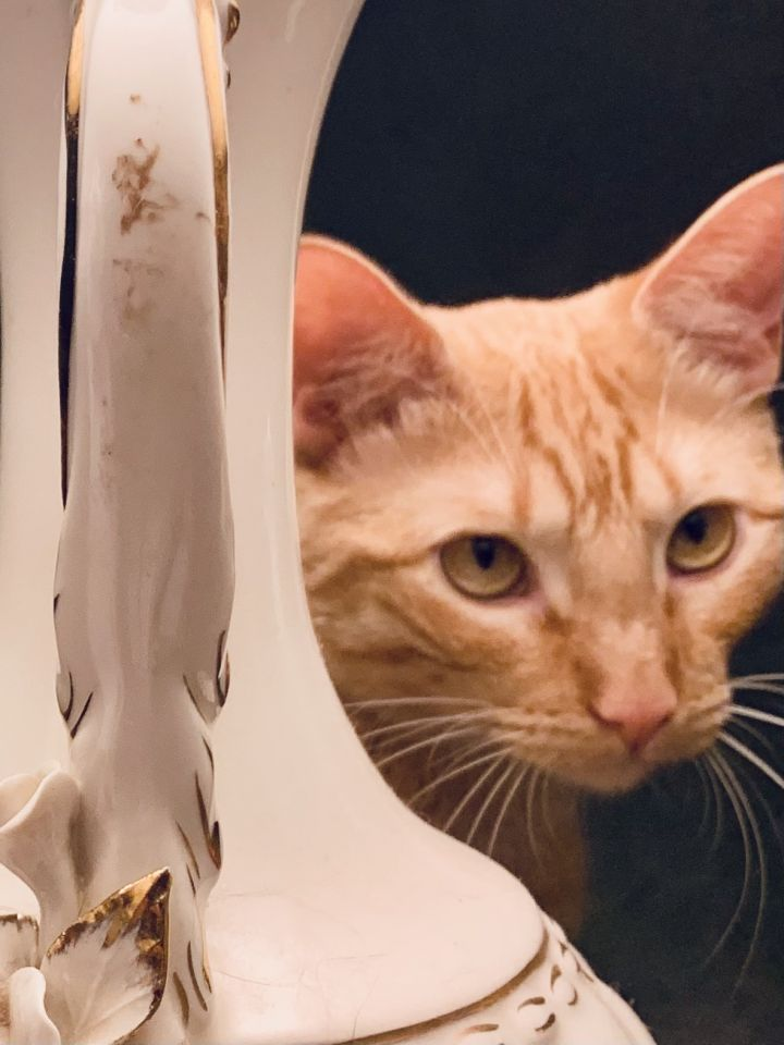 Merida, an adoptable Domestic Short Hair in Oklahoma City, OK_image-3