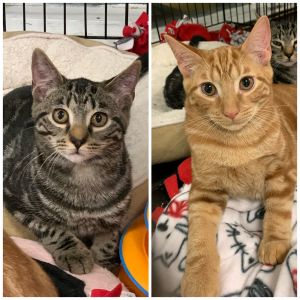 These lovely kittens are Sky and Sun Sun male and Sky female are 4 month old kittens who are ex