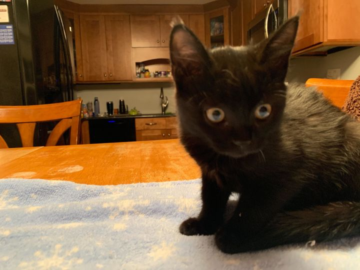 Onyx (Rock litter), an adopted Domestic Short Hair in Warminster, PA