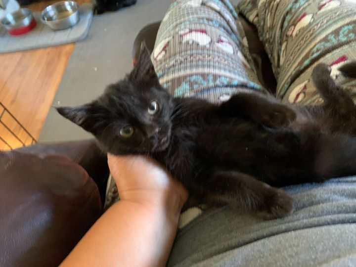Jet (Rock litter), an adoptable Domestic Short Hair in Warminster, PA