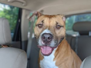 Theo Male Pit bull type dog About 4 years old House trained Crate trained Walks well on a leash Good