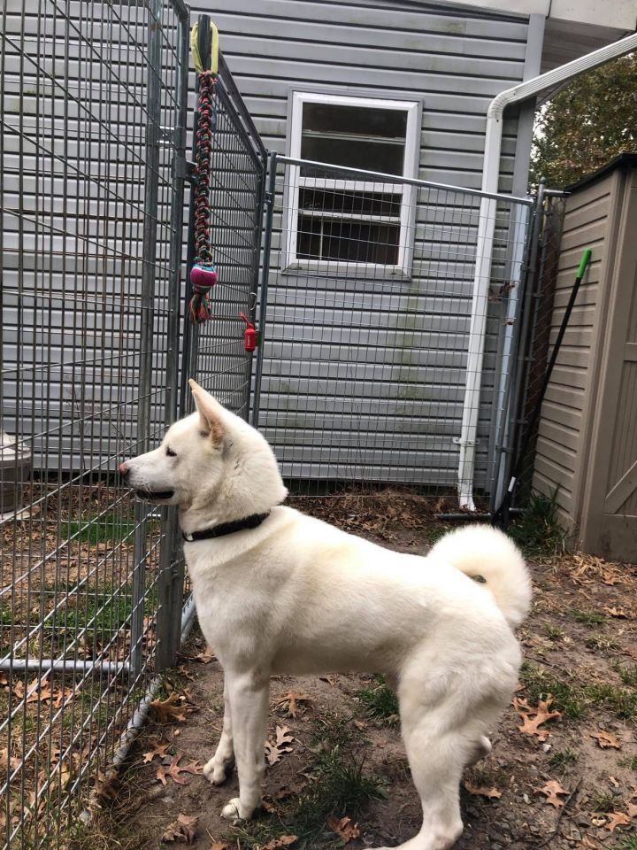 King, an adoptable Akita in Toms River, NJ