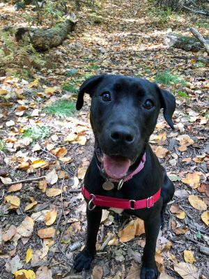Esmeralda is a beautiful 10 month old 40 lb Lab Mix puppy She gets along well