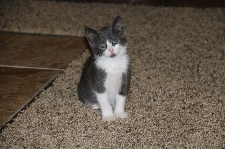 Jenson, an adoptable Domestic Short Hair Mix in Springfield, MO