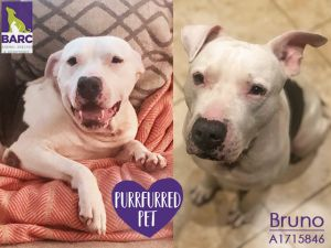 What a sweetheart Bruno is This wiggly waggy guy loves getting pets and attention He could totall