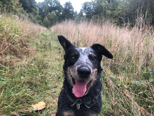 Chip, an adoptable Australian Cattle Dog / Blue Heeler in Cleveland, OH