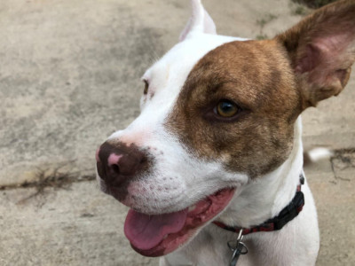 Rose, an adoptable Pit Bull Terrier Mix in Athens, GA