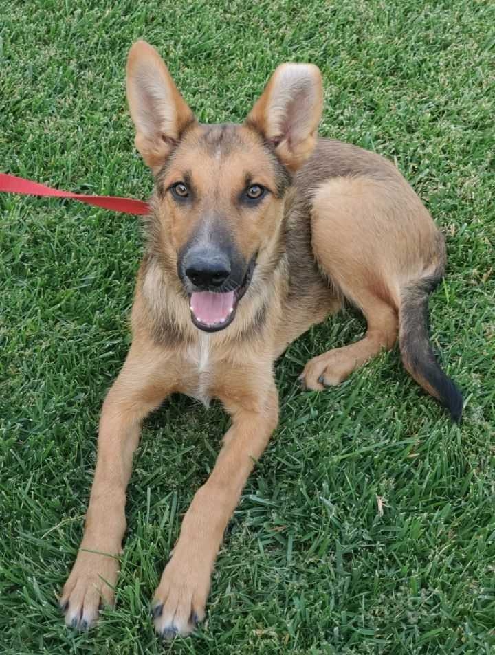 Brownie, an adoptable German Shepherd Dog Mix in Redlands, CA