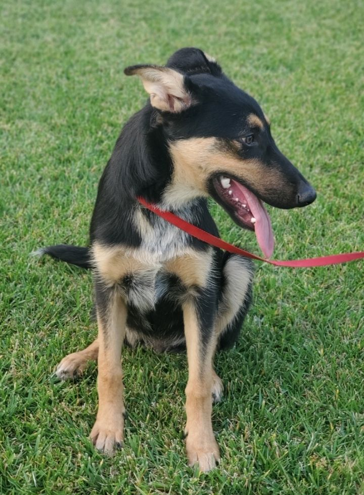 Samy, an adopted German Shepherd Dog Mix in Redlands, CA