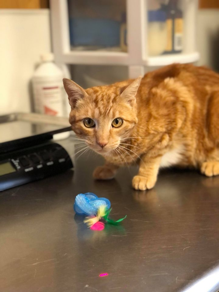 JP, an adoptable Domestic Short Hair in The Dalles, OR