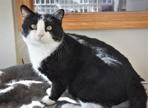 Tex, an adoptable Domestic Short Hair Mix in Monticello, IA
