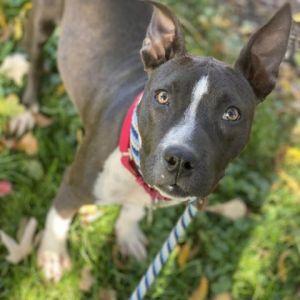 Riley Boston Terrier Dog