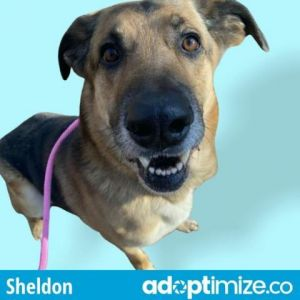 Sheldon is a master of puzzle toys lover of walks and kisser of faces He is an affectionate and l