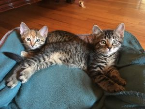 These 11 week old brother and sister are very sweet kittens The play and chase each other and when