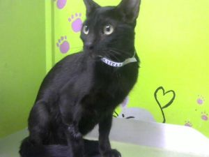 This pretty kitty is currently in a foster home Email BARCFosterhoustontxgov to meet her