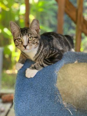 Max Tabby Cat