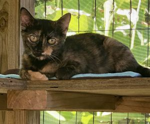 Roxy Tortoiseshell Cat