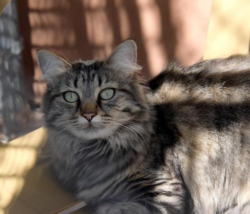 PD, an adoptable Maine Coon Mix in Santa Fe, NM