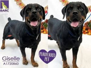 Giselle Rottweiler Dog