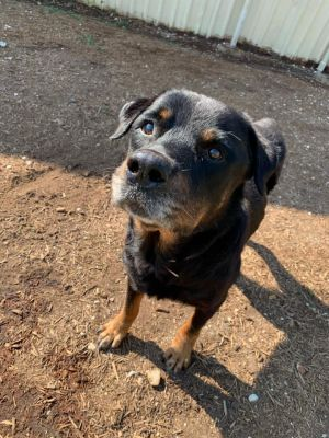 Meet Leo This sweet senior boy found himself homeless and is as sweet as they come That grey muzzl