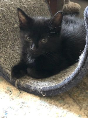 This beautiful black 8 week old is an absolute sweetheart She is very playful with the other kitten
