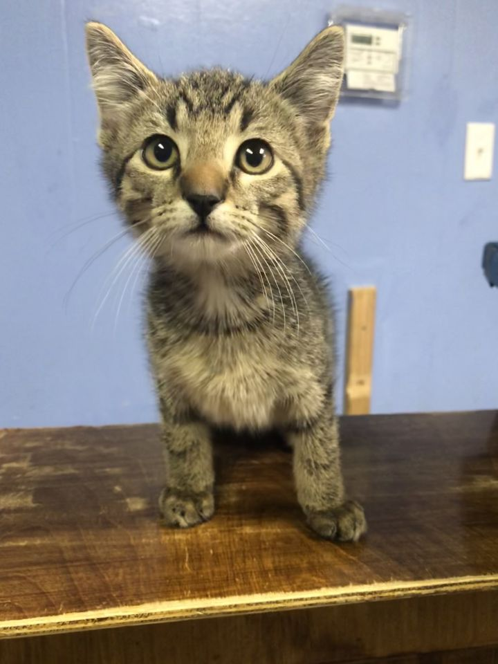 TOOTHPICK, an adopted Domestic Short Hair in Cape Girardeau, MO