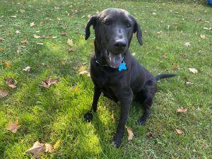 Luna Labrador Retriever Dog