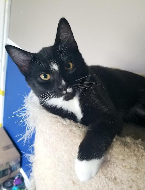 Dwight, an adoptable Tuxedo & Domestic Short Hair Mix in Springfield, OR