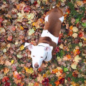 Rosie Labrador Retriever Dog