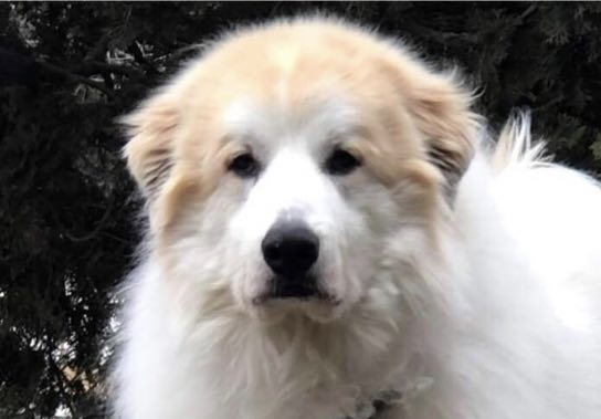 Toby, an adopted Great Pyrenees Mix in Cincinnati, OH