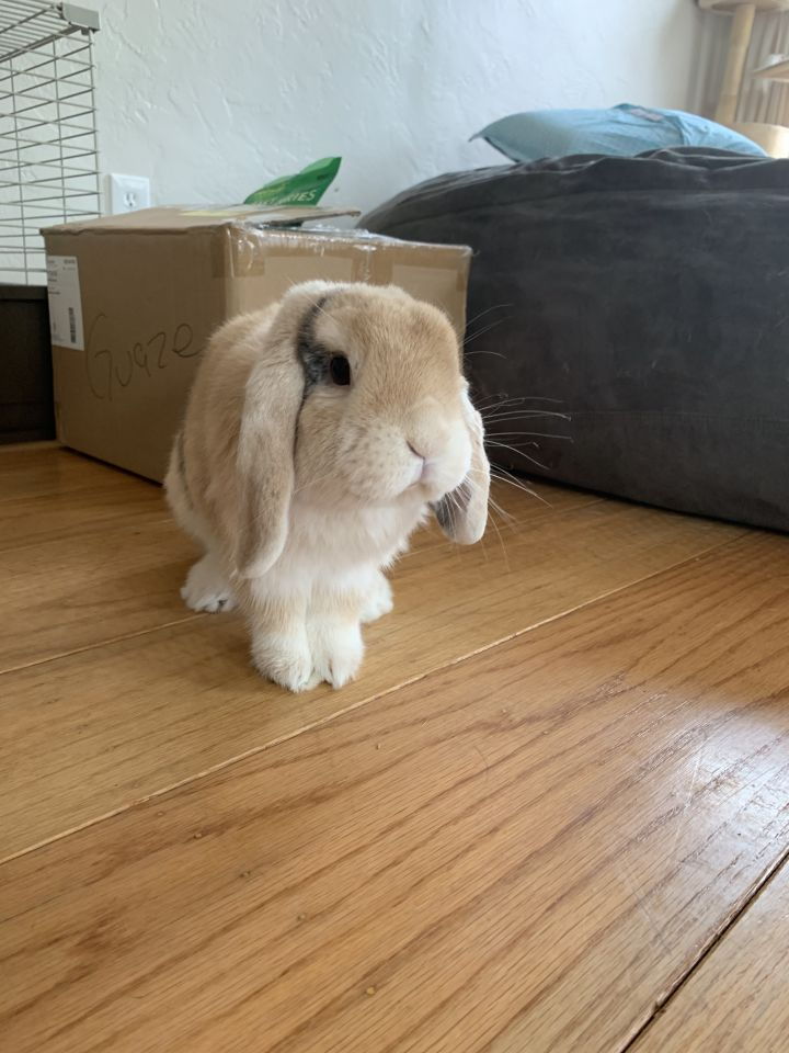 Boon, an adopted Mini Lop in Livermore, CA